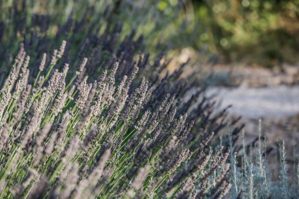 lavender at la Baye des Anges