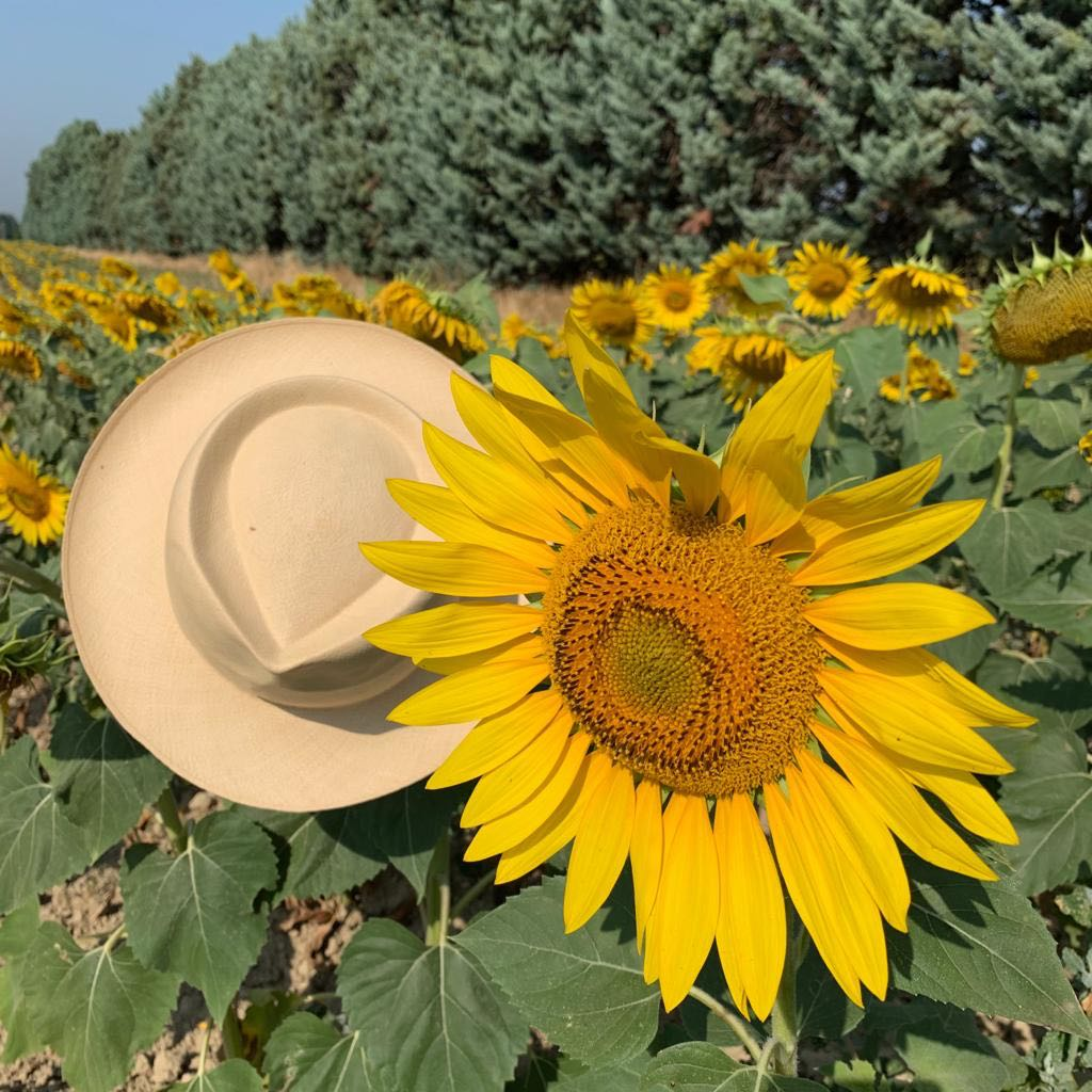 Sunflowers Provence