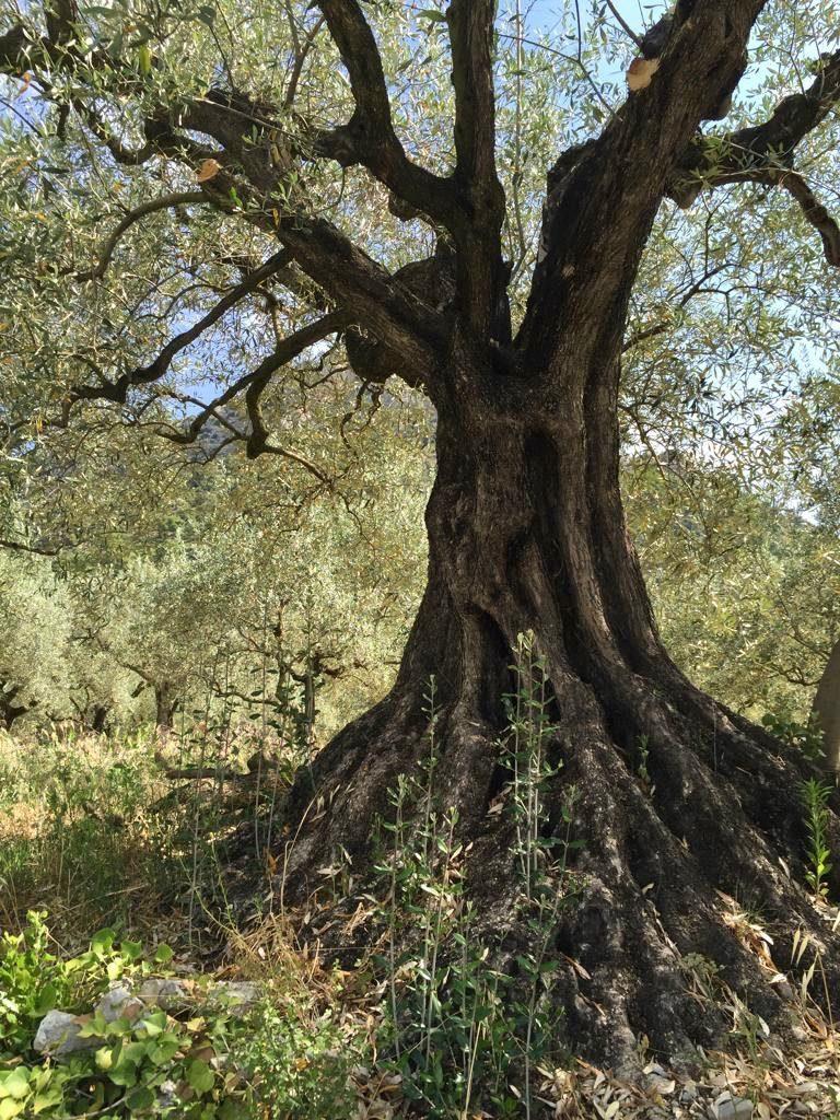 olive tree Provence, St Jalle, Drome Provençale