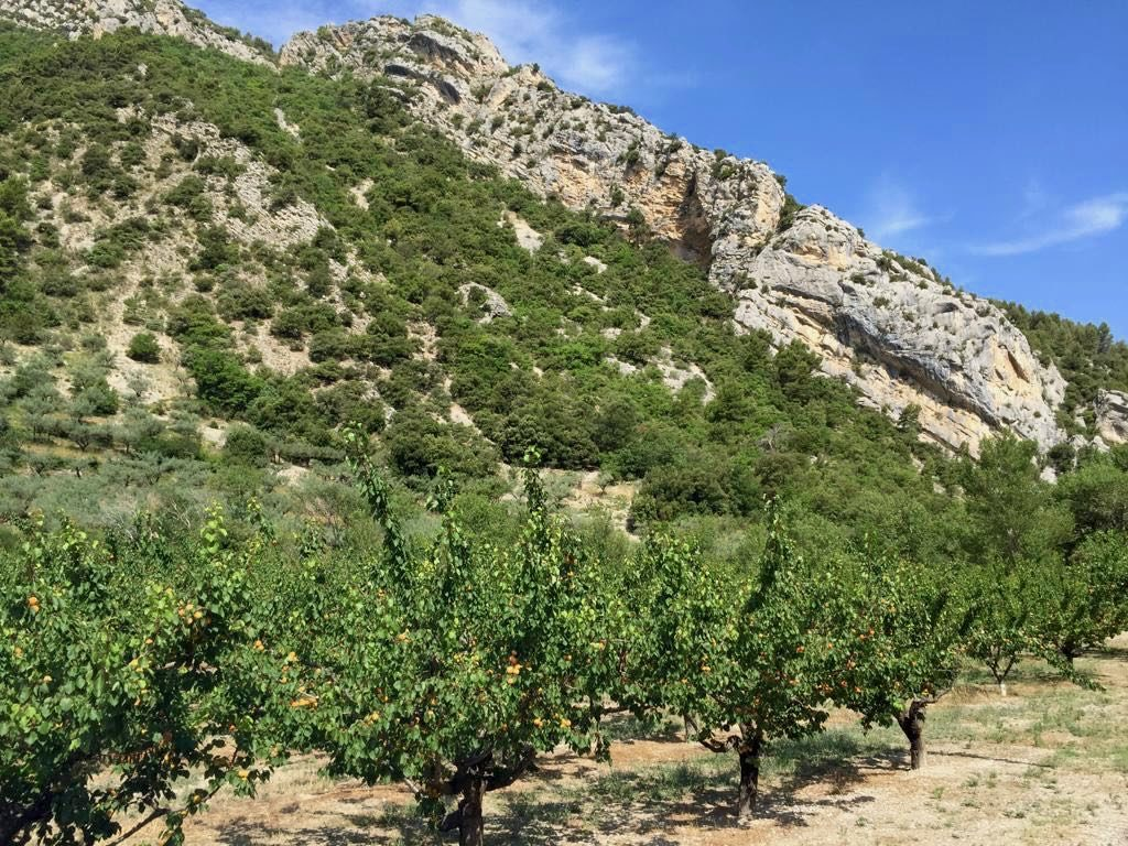abricot trees Provence, St Jalle, Drome Provençale