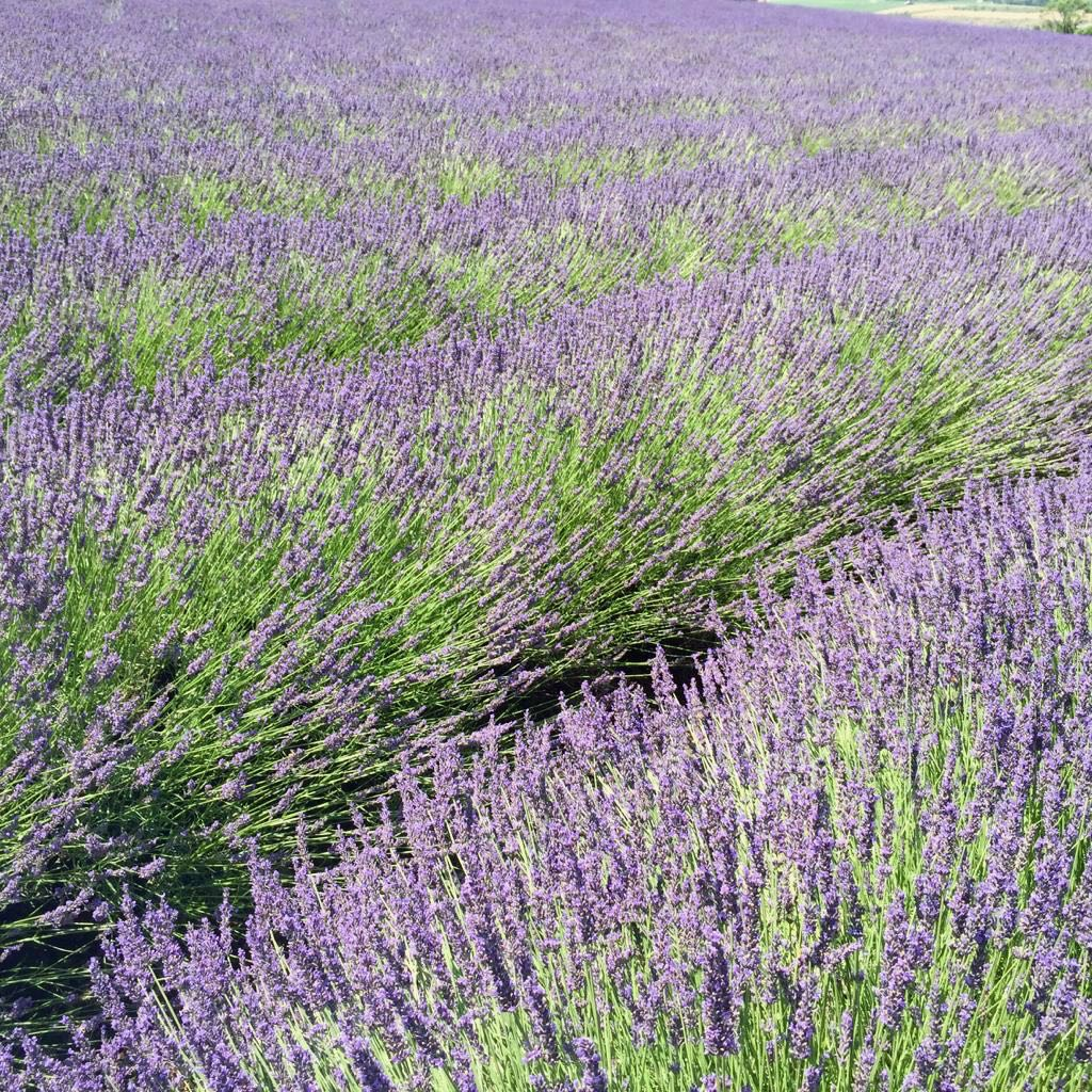 Lavenders Provence, St Jalle, Drome Provençale