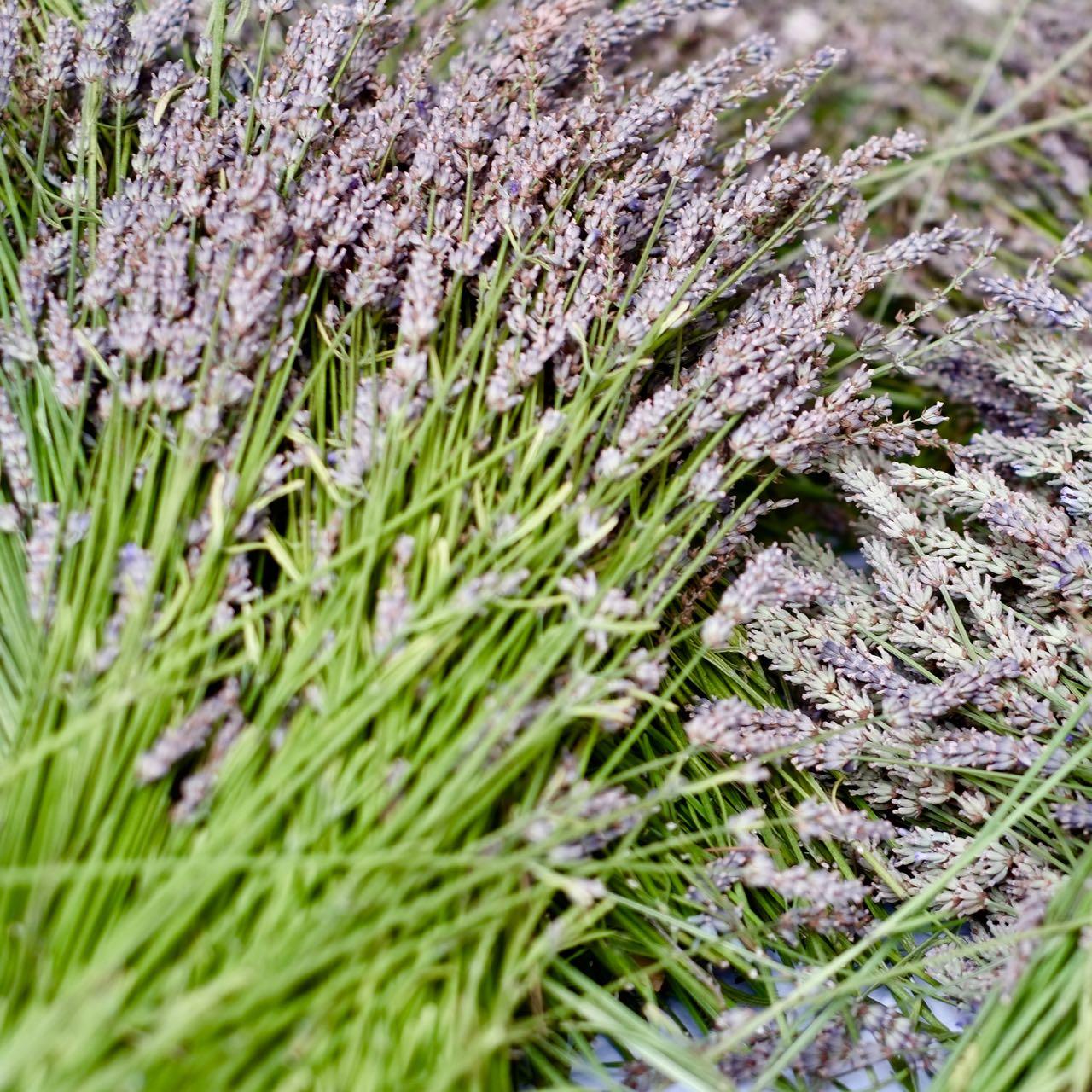 Lavender crop 2019 @la Baye des Anges