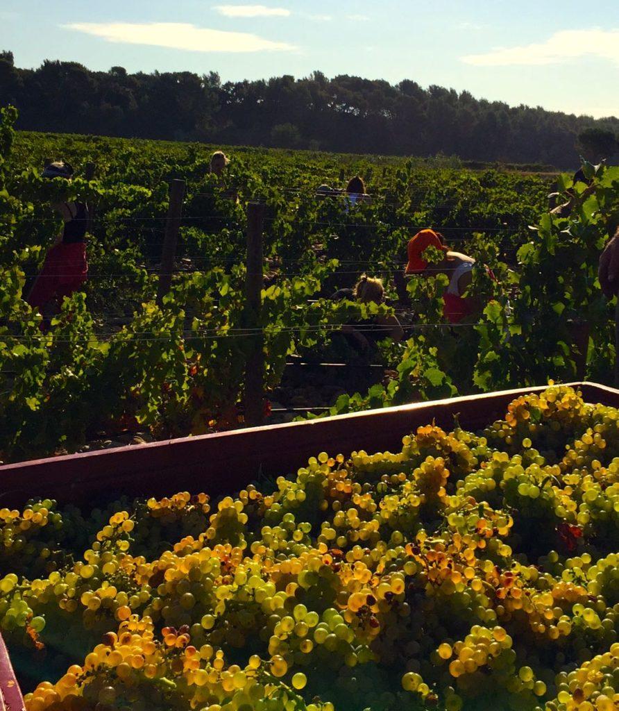 Harvest at Chateau-la-Nerthe, Chteau-Neuf-du-Pape